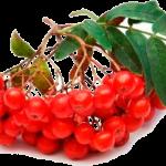 червона горобина